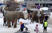 2 elephants escape from circus in Russian city