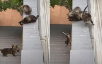 Adult Cats Pick Up Kitten Stuck On Steps